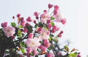 Japanische Kirsche